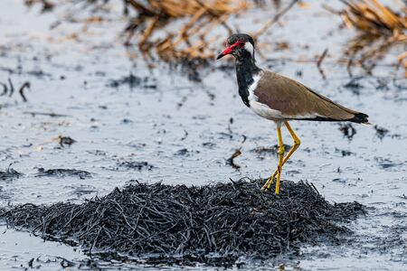 Red-Wattled Lapwing  standing on ashy straw of paddy field after harvest finding food to feed on Imagens