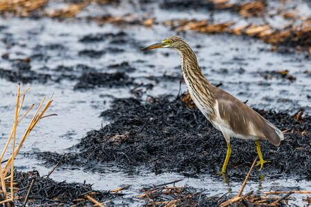 Indian Pond Heron wading on ashy mud of paddy field after harvest finding food to feed on Imagens