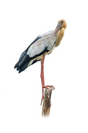 Asian openbill stork perching on a stump, looking into a distance isolated on white background