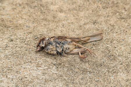 Dead sparrow lying isolated on ground