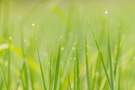 Close up of dew drop on the young green rice leaves with bokeh in early morning during rainy season Stock fotó