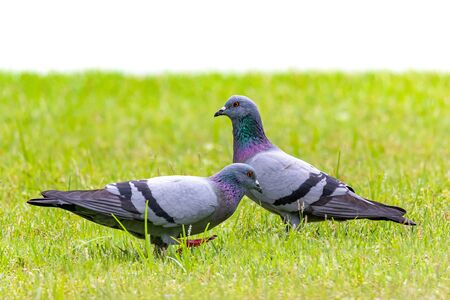 Two Rock Pigeons perching on lawn with white background