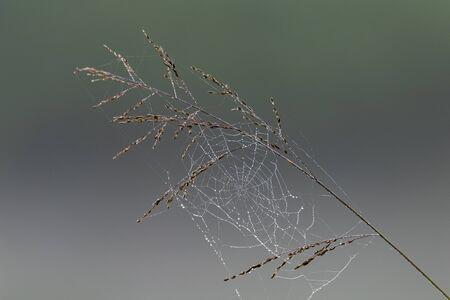 Morning dew on cobweb with on ear of grass seeds with blur grey background 版權商用圖片