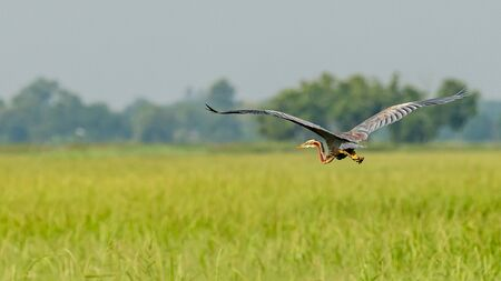 Purple Heron in flight gliding above rice paddy field Фото со стока
