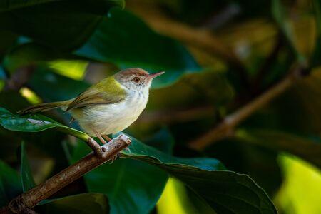 Common Tailorbird perching on Malay Apple treep
