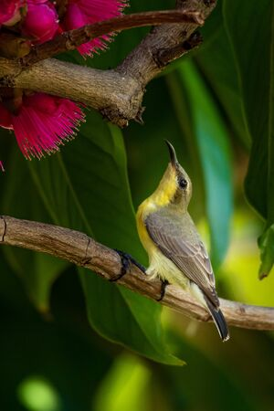 Female Olive-backed Sunbird perching on Malay Apple tree near its flowers
