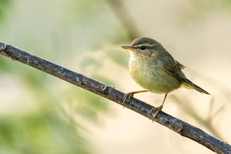 Common Chiffchaff perching on a perch looking into a distance
