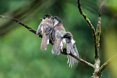 Three Dark-backed Sibia preening plumage for each other on a perch in a jungle
