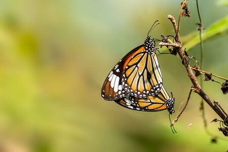 Two Common Tiger butterfly mating on a dried branch with blur background
