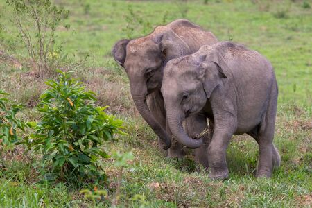 Thai wild elephant calf using trunk to grab a clump of grass to eat