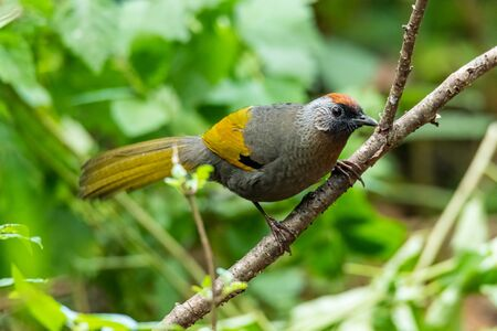 Silver-eared Laughingthrush perching on a branch looking into a distance