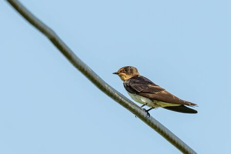 Barn Swallow perching on electrical wire looking into a distance