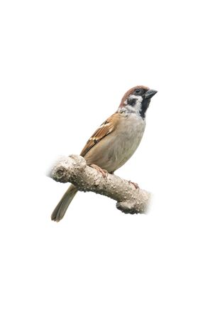 Eurasian Tree Sparrow perching on a branch isolated on white background