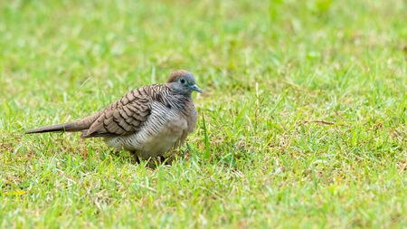 Zebra Dove walking on lawn of fresh green grass
