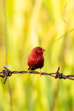 Red Avadavat perching on barb wire with blur grass background