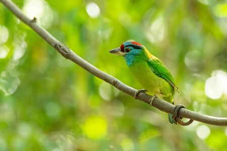 Blue-throated Barbet perching on liana with blur tree background