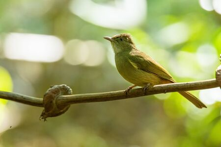 Bakers Bulbul perching on liana with blur green tree background