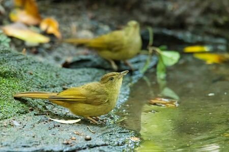Bakers Bulbul perching near small pond to drink water 스톡 콘텐츠