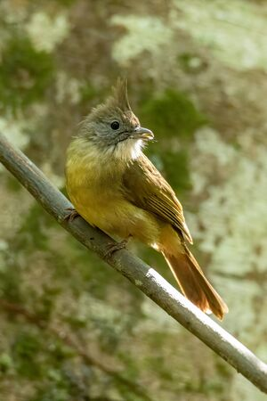 Ochraceous Bulbul  perching on liana with tree in background