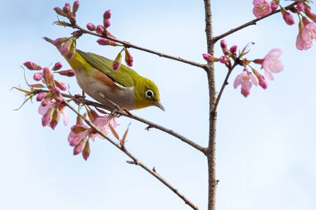 Chestnut-flanked White-eye perching on blooming wild himalayan cherry