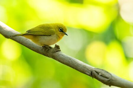Indian White-eye perching on liana with blur green tree background