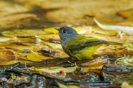 Tiny Grey-headed Canary-flycatcher soaking in water to drink and bathe