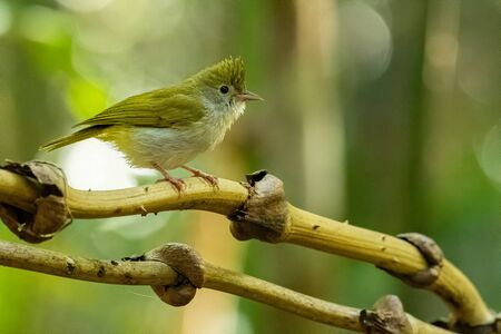 White-bellied Erpornis perching on liana with blur green tree background