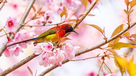 Colorful Mrs. Gould's Sunbird on blooming wild himalayan cherry