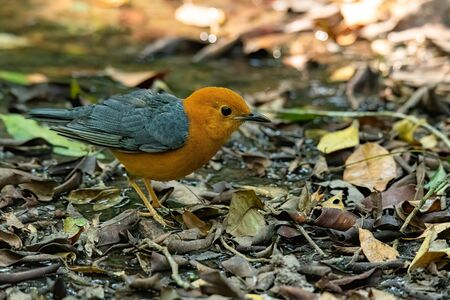 Orange-headed Thrush standing on leafy ground looking into a distance