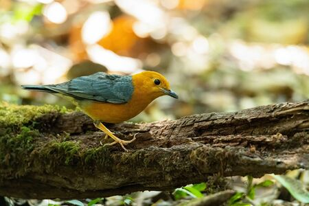 Orange-headed Thrush perching on rotten wood looking into a distance