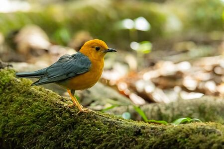 Orange-headed Thrush perching on big tree root covered with mos looking into a distance
