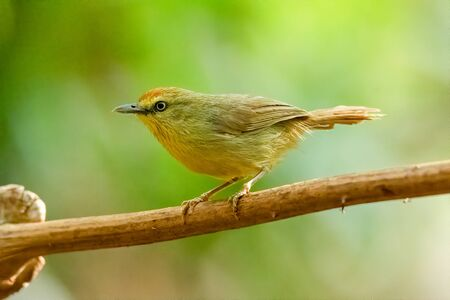 Pin-striped Tit Babbler perching on liana with blur green tree background