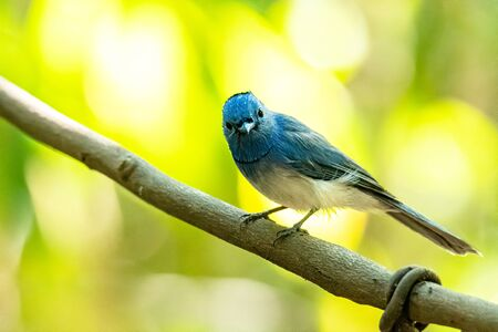 Black-naped Monarch perching on liana with blur green tree background