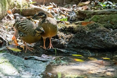 Two Bar-backed Partridges standing near small pond to drink water
