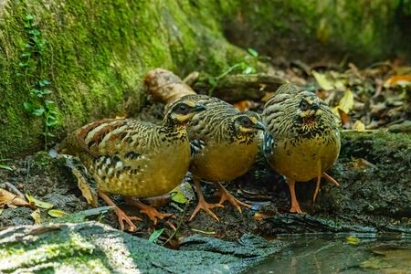 Three Bar-backed Partridges standing near small pond to drink water