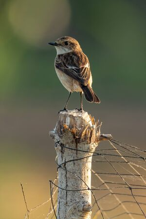 Female Jerdon's Bushchat perching on a tree stump with bird net looking into a distance