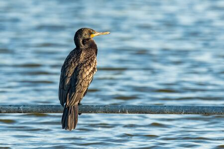 Indian Cormorant perching on water pipe above fish farm pond