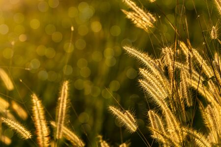 Glowing blooming grass flowers on sunset light with bokeh effect in background 스톡 콘텐츠