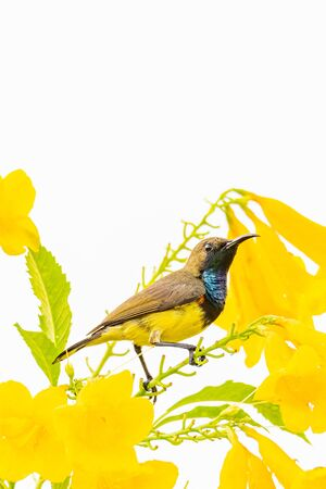 Male Olive-backed sunbird perching on Yellow Trumpet flower perch