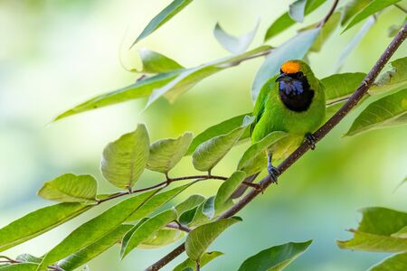 Golden-fronted Leafbird perching on tree branch looking into a distance 스톡 콘텐츠