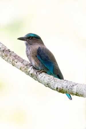 Indochinese Roller perching on a perch with blur pale green background
