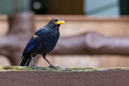 Blue Whistling Thrush perching on wooden bar looking into a distance