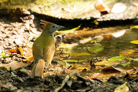 Ochraceous Bulbul  perching near a small pond looking into a distance