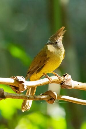 Ochraceous Bulbul  perching on tree branch with blur green tree  background