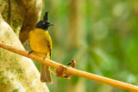 Black-crested Bulbul perching on liana with blur trees background