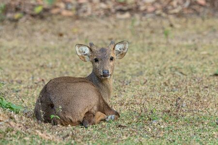 Young hog deer is lying on grass, looking straight