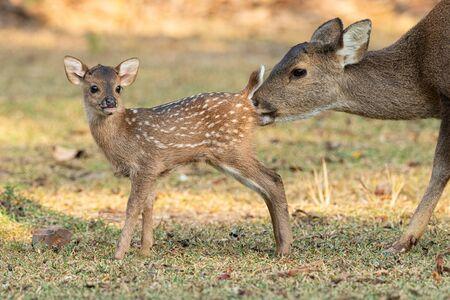 Female hog deer is cleaning her calf in a park