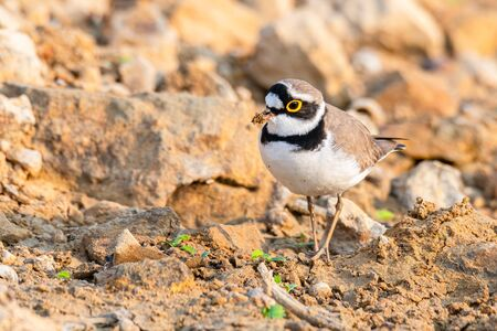Little Ringed Plover wading around wetland finding food from the ground 스톡 콘텐츠