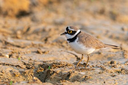 Little Ringed Plover wading around wetland finding food from the ground Banco de Imagens