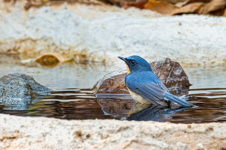 Hill Blue Flycatcher soaking in water looking into a distance